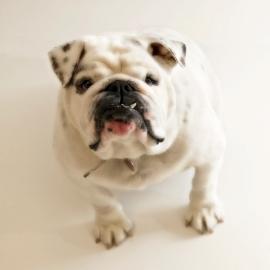 dog-pet-bulldog