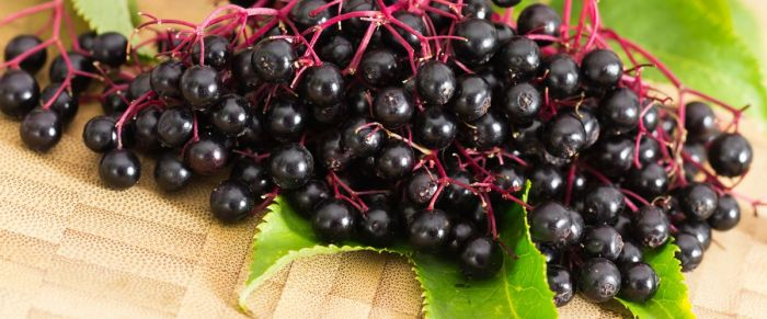 elderberry_header_1 (1)