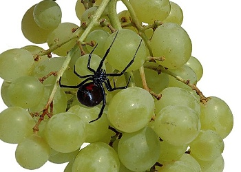 Black_Widow_Grapes_Wallpaper_z2sgw