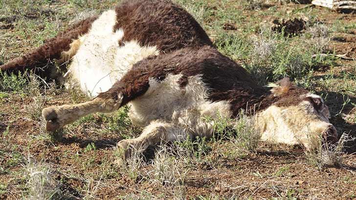 к чему снятся мертвые коровы Шеин оспаривал