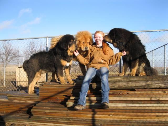 kesang camp tibetan mastiff 9